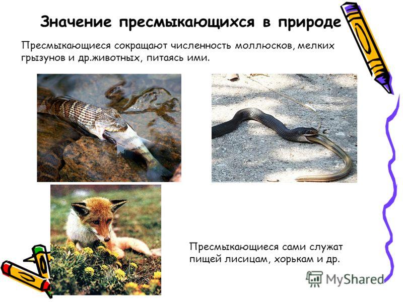Значение пресмыкающихся в природе Пресмыкающиеся сокращают численность моллюсков, мелких грызунов и др.животных, питаясь ими. Пресмыкающиеся сами служат пищей лисицам, хорькам и др.
