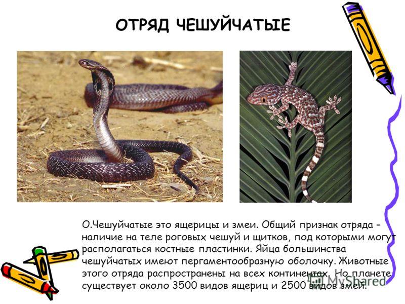 ОТРЯД ЧЕШУЙЧАТЫЕ О.Чешуйчатые это ящерицы и змеи. Общий признак отряда – наличие на теле роговых чешуй и щитков, под которыми могут располагаться костные пластинки. Яйца большинства чешуйчатых имеют пергаментообразную оболочку. Животные этого отряда