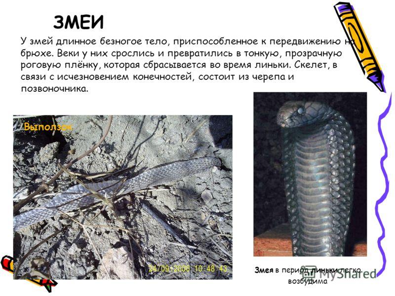 ЗМЕИ У змей длинное безногое тело, приспособленное к передвижению на брюхе. Веки у них срослись и превратились в тонкую, прозрачную роговую плёнку, которая сбрасывается во время линьки. Скелет, в связи с исчезновением конечностей, состоит из черепа и