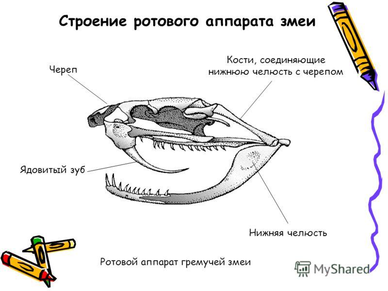 Строение ротового аппарата змеи Нижняя челюсть Ядовитый зуб Череп Кости, соединяющие нижнюю челюсть с черепом Ротовой аппарат гремучей змеи