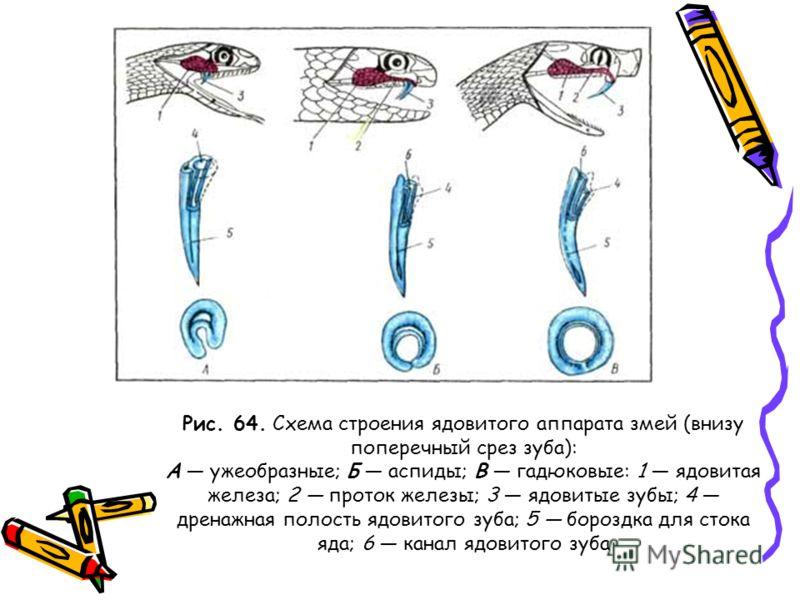 Рис. 64. Схема строения ядовитого аппарата змей (внизу поперечный срез зуба): А ужеобразные; Б аспиды; В гадюковые: 1 ядовитая железа; 2 проток железы; 3 ядовитые зубы; 4 дренажная полость ядовитого зуба; 5 бороздка для стока яда; 6 канал ядовитого з
