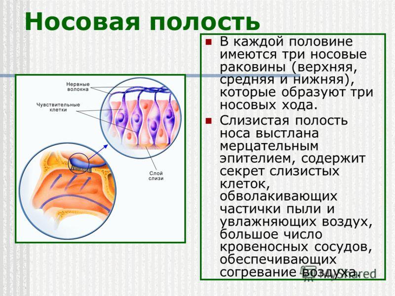 Носовая полость В каждой половине имеются три носовые раковины (верхняя, средняя и нижняя), которые образуют три носовых хода. Слизистая полость носа выстлана мерцательным эпителием, содержит секрет слизистых клеток, обволакивающих частички пыли и ув