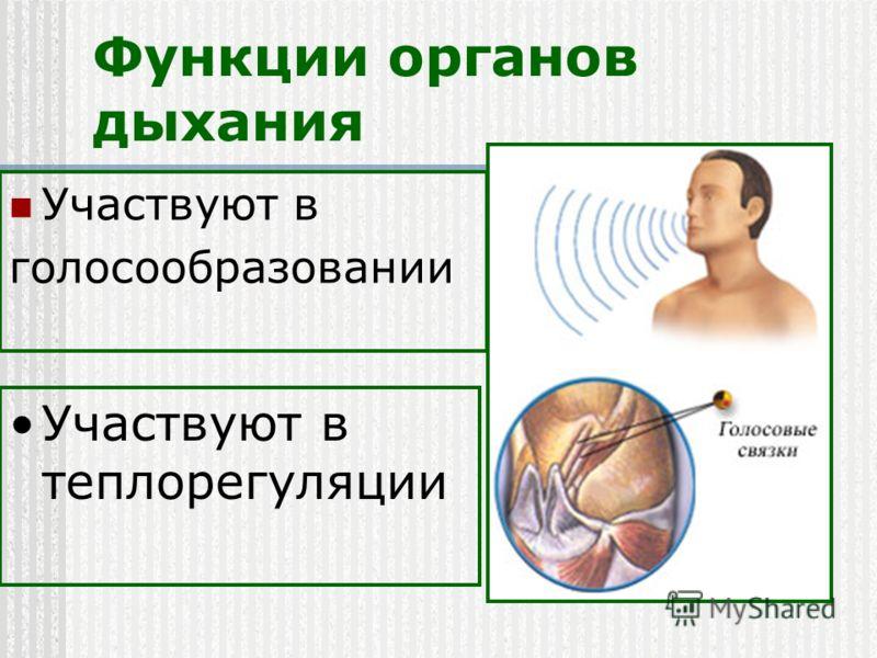 Функции органов дыхания Участвуют в голосообразовании Участвуют в теплорегуляции