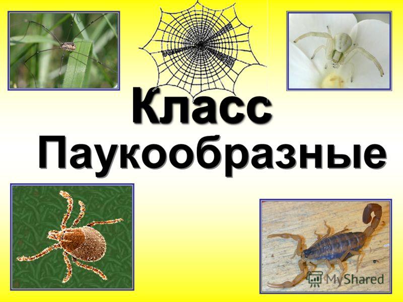 КлассКласс Паукообразные