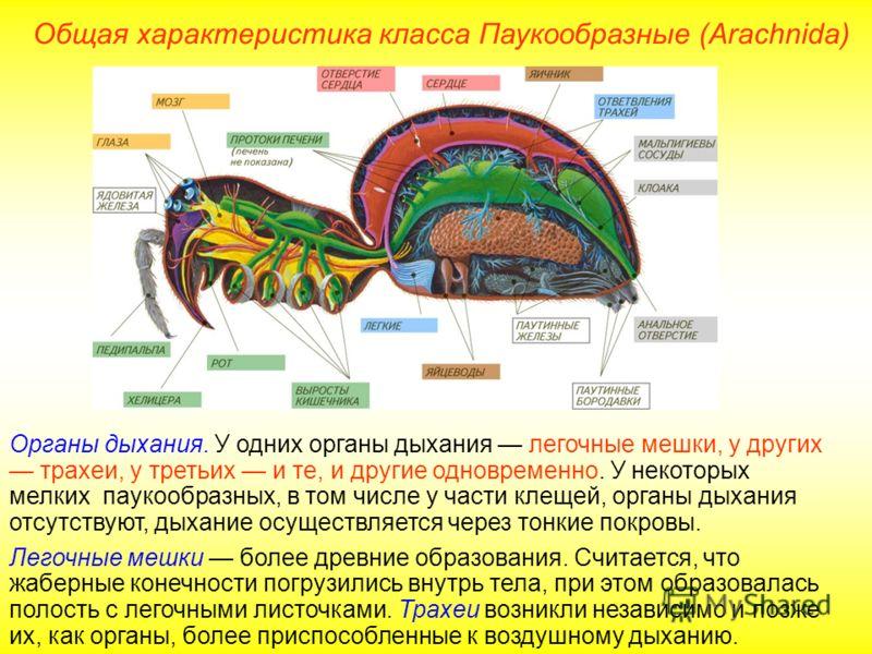 Общая характеристика класса Паукообразные (Arachnida) Органы дыхания. У одних органы дыхания легочные мешки, у других трахеи, у третьих и те, и другие одновременно. У некоторых мелких паукообразных, в том числе у части клещей, органы дыхания отсутств