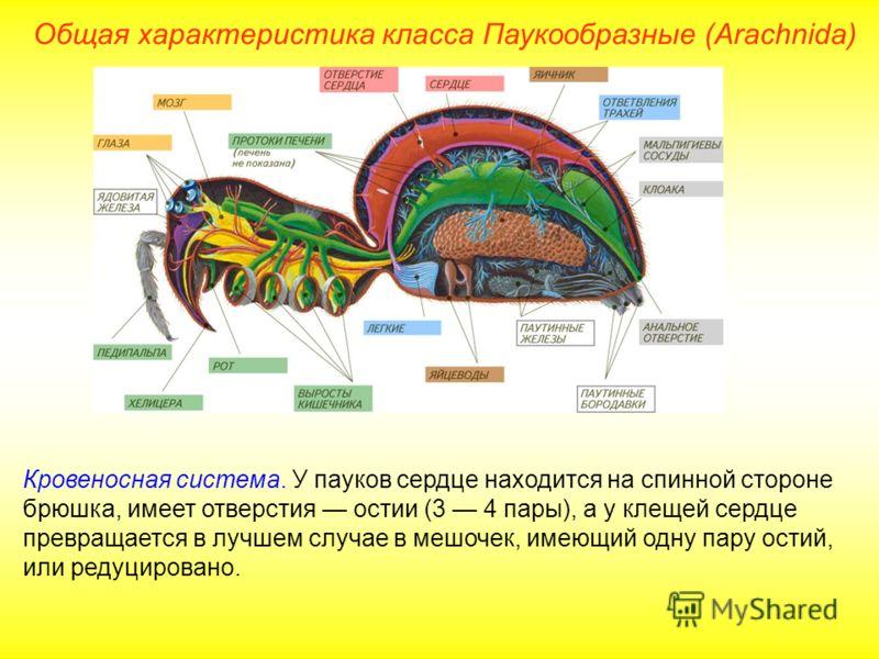 Общая характеристика класса Паукообразные (Arachnida) Кровеносная система. У пауков сердце находится на спинной стороне брюшка, имеет отверстия остии (3 4 пары), а у клещей сердце превращается в лучшем случае в мешочек, имеющий одну пару остий, или р