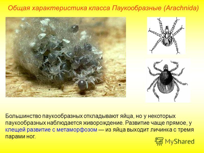 Общая характеристика класса Паукообразные (Arachnida) Большинство паукообразных откладывают яйца, но у некоторых паукообразных наблюдается живорождение. Развитие чаще прямое, у клещей развитие с метаморфозом из яйца выходит личинка с тремя парами ног