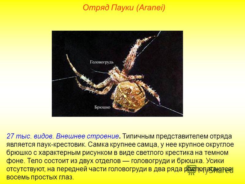 Отряд Пауки (Aranei) 27 тыс. видов. Внешнее строение. Типичным представителем отряда является паук-крестовик. Самка крупнее самца, у нее крупное округлое брюшко с характерным рисунком в виде светлого крестика на темном фоне. Тело состоит из двух отде