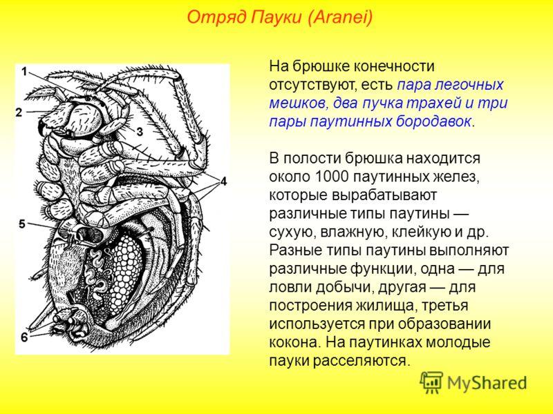 Отряд Пауки (Aranei) На брюшке конечности отсутствуют, есть пара легочных мешков, два пучка трахей и три пары паутинных бородавок. В полости брюшка находится около 1000 паутинных желез, которые вырабатывают различные типы паутины сухую, влажную, клей