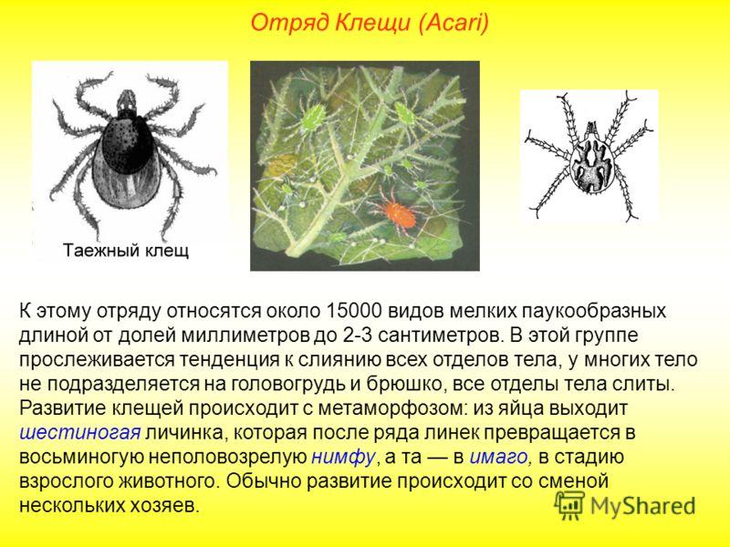 Отряд Клещи (Acari) К этому отряду относятся около 15000 видов мелких паукообразных длиной от долей миллиметров до 2-3 сантиметров. В этой группе прослеживается тенденция к слиянию всех отделов тела, у многих тело не подразделяется на головогрудь и б