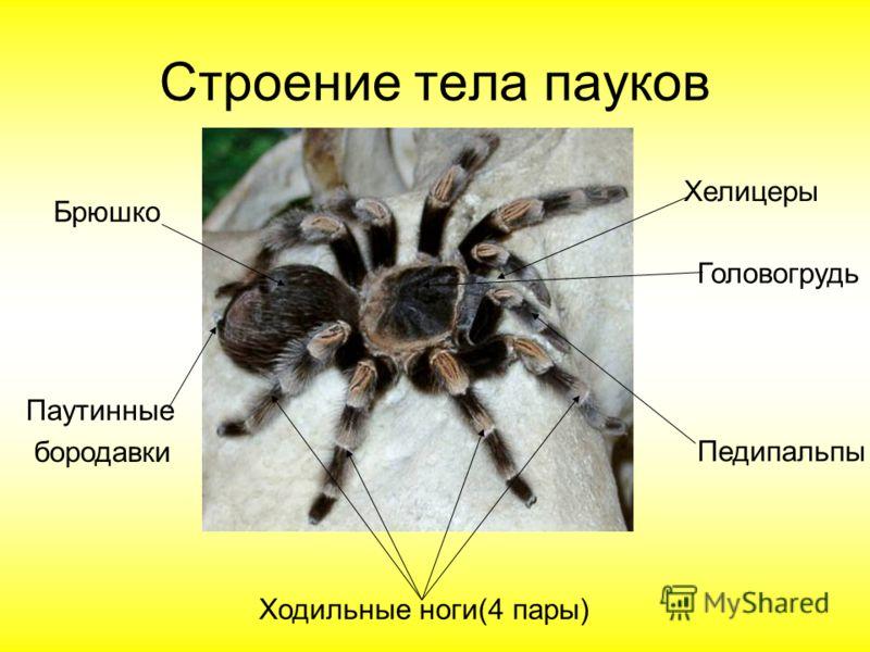 Строение тела пауков Головогрудь Хелицеры Ходильные ноги(4 пары) Брюшко Паутинные бородавки Педипальпы