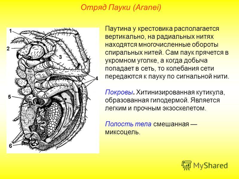 Отряд Пауки (Aranei) Паутина у крестовика располагается вертикально, на радиальных нитях находятся многочисленные обороты спиральных нитей. Сам паук прячется в укромном уголке, а когда добыча попадает в сеть, то колебания сети передаются к пауку по с