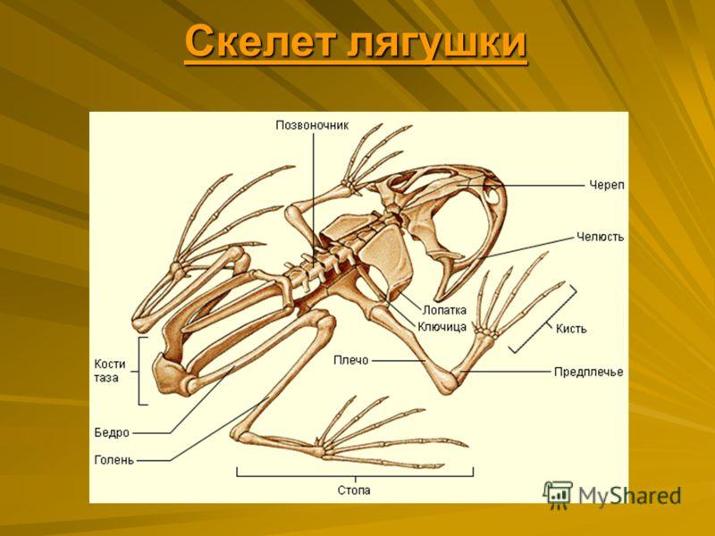 Скелет лягушки Скелет лягушки