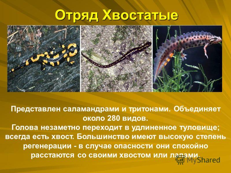 Отряд Хвостатые Представлен саламандрами и тритонами. Объединяет около 280 видов. Голова незаметно переходит в удлиненное туловище; всегда есть хвост. Большинство имеют высокую степень регенерации - в случае опасности они спокойно расстаются со своим