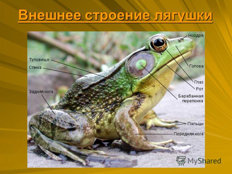 Внешнее строение лягушки Внешнее строение лягушки