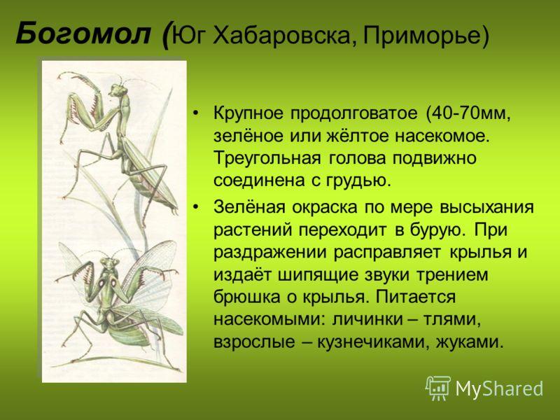 Богомол ( Юг Хабаровска, Приморье) Крупное продолговатое (40-70мм, зелёное или жёлтое насекомое. Треугольная голова подвижно соединена с грудью. Зелёная окраска по мере высыхания растений переходит в бурую. При раздражении расправляет крылья и издаёт