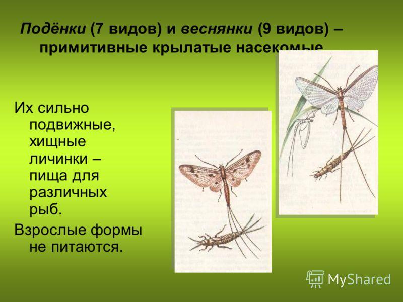 Подёнки (7 видов) и веснянки (9 видов) – примитивные крылатые насекомые Их сильно подвижные, хищные личинки – пища для различных рыб. Взрослые формы не питаются.