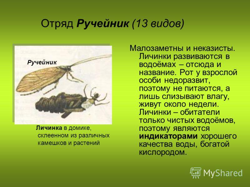 Отряд Ручейник (13 видов) Малозаметны и неказисты. Личинки развиваются в водоёмах – отсюда и название. Рот у взрослой особи недоразвит, поэтому не питаются, а лишь слизывают влагу, живут около недели. Личинки – обитатели только чистых водоёмов, поэто