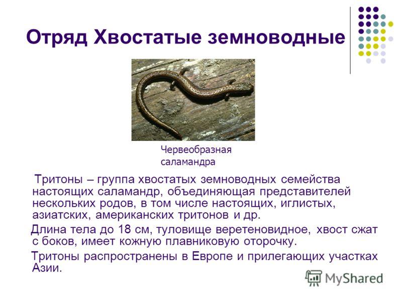 Отряд Хвостатые земноводные Тритоны – группа хвостатых земноводных семейства настоящих саламандр, объединяющая представителей нескольких родов, в том числе настоящих, иглистых, азиатских, американских тритонов и др. Длина тела до 18 см, туловище вере