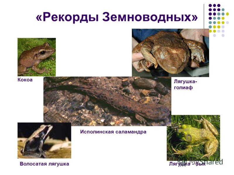 «Рекорды Земноводных» Лягушка - быкВолосатая лягушка Кокоа Лягушка- голиаф Исполинская саламандра