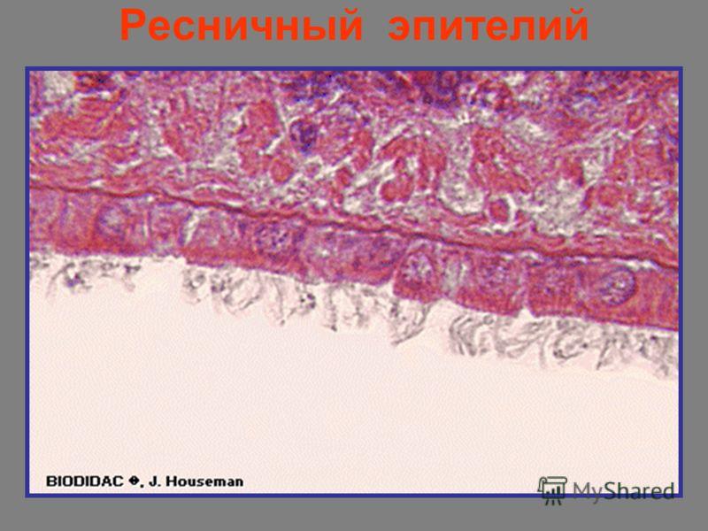 Ресничный эпителий