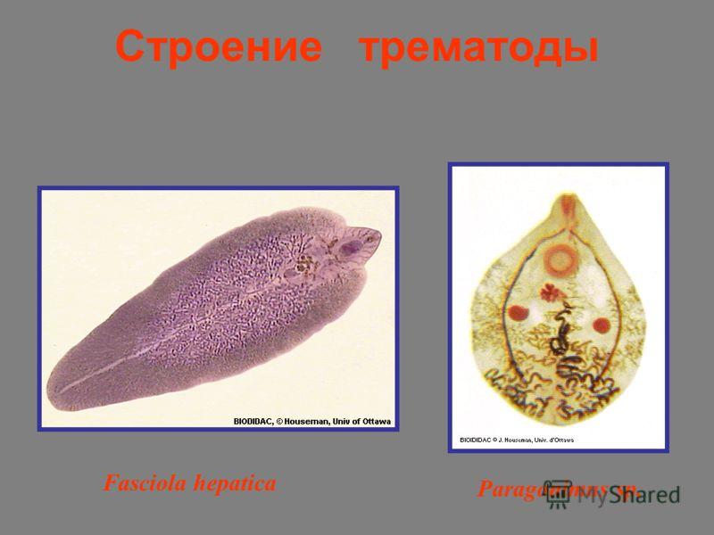 Строение трематоды Fasciola hepatica Paragonimus sp.