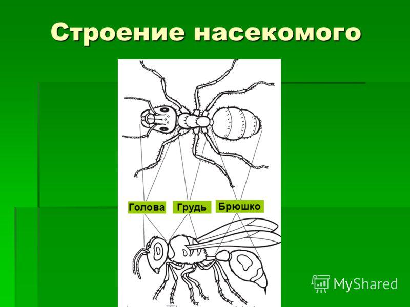 Строение насекомого Голова Грудь Брюшко