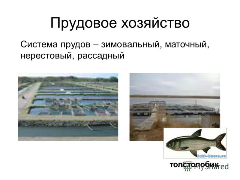 Прудовое хозяйство толстолобик Система прудов – зимовальный, маточный, нерестовый, рассадный