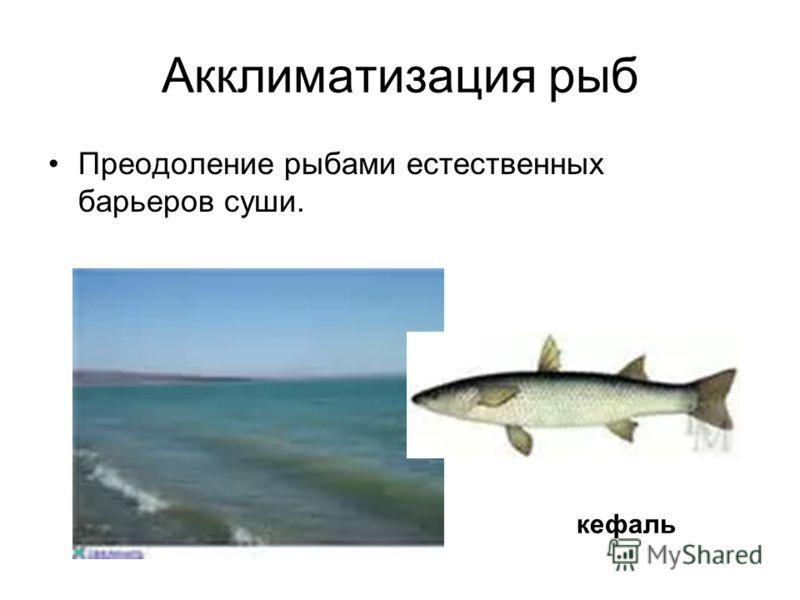 Акклиматизация рыб Преодоление рыбами естественных барьеров суши. кефаль