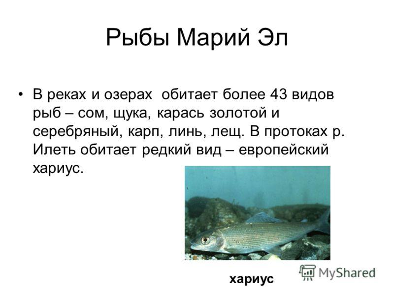 Рыбы Марий Эл В реках и озерах обитает более 43 видов рыб – сом, щука, карась золотой и серебряный, карп, линь, лещ. В протоках р. Илеть обитает редкий вид – европейский хариус. хариус
