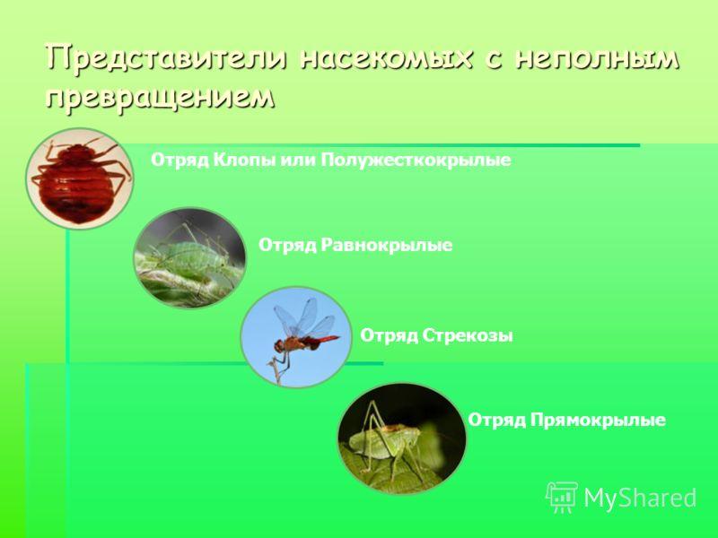 Представители насекомых с неполным превращением Отряд Клопы или Полужесткокрылые Отряд Равнокрылые Отряд Стрекозы Отряд Прямокрылые
