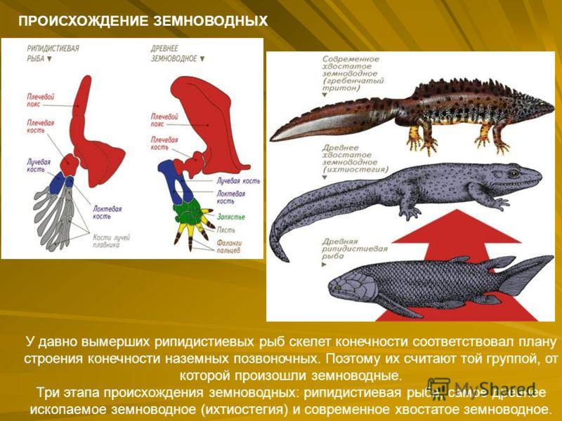 ПРОИСХОЖДЕНИЕ ЗЕМНОВОДНЫХ У давно вымерших рипидистиевых рыб скелет конечности соответствовал плану строения конечности наземных позвоночных. Поэтому их считают той группой, от которой произошли земноводные. Три этапа происхождения земноводных: рипид