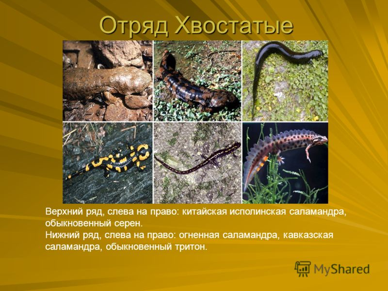 Отряд Хвостатые Верхний ряд, слева на право: китайская исполинская саламандра, обыкновенный серен. Нижний ряд, слева на право: огненная саламандра, кавказская саламандра, обыкновенный тритон.