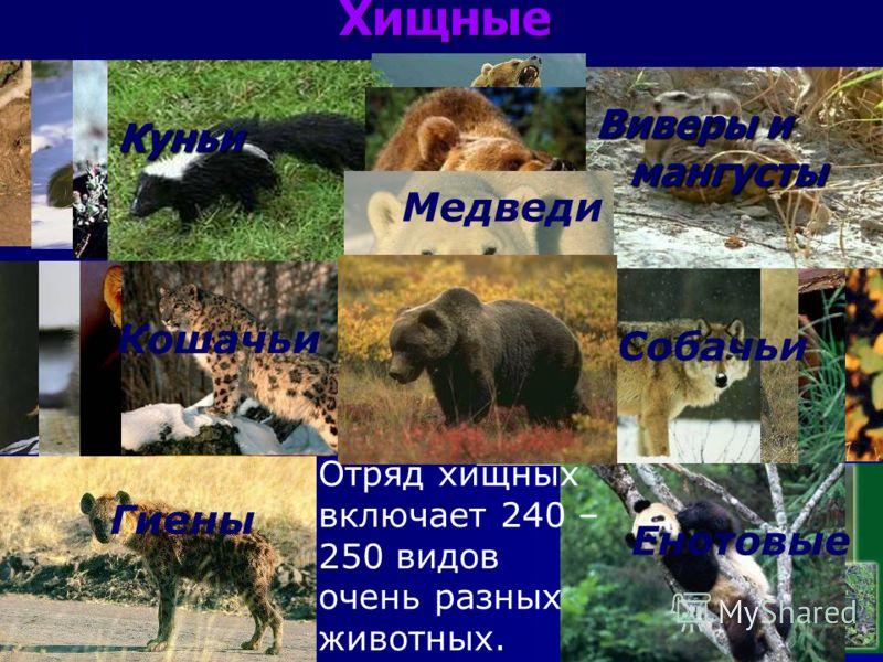 Виверы и мангусты Куньи Кошачьи Собачьи Гиены Енотовые Медведи Хищные Отряд хищных включает 240 – 250 видов очень разных животных.