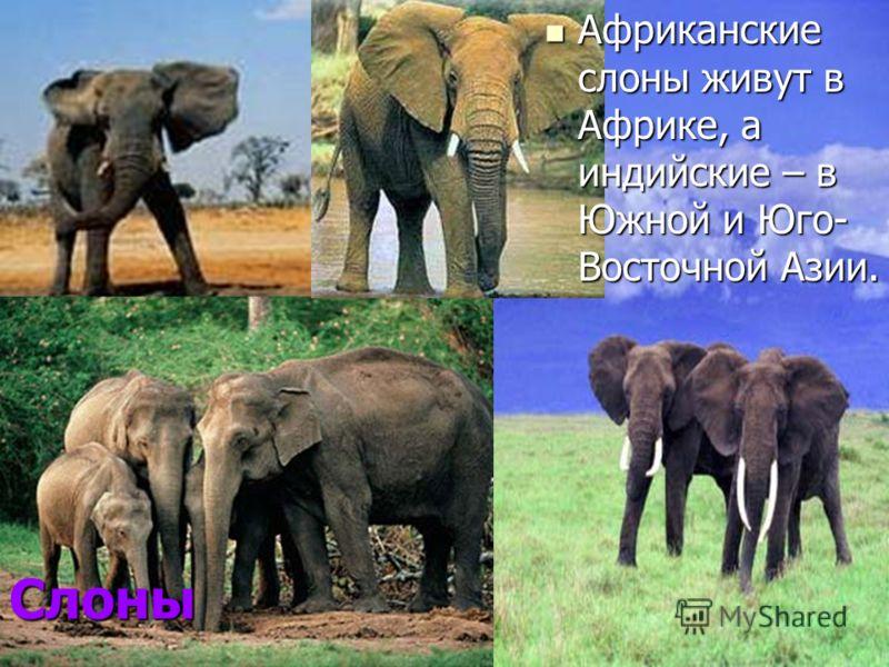 Слоны Африканские слоны живут в Африке, а индийские – в Южной и Юго- Восточной Азии. Африканские слоны живут в Африке, а индийские – в Южной и Юго- Восточной Азии.