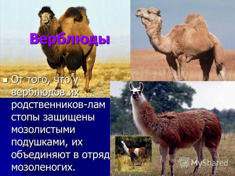 Верблюды От того, что у верблюдов их родственников-лам стопы защищены мозолистыми подушками, их объединяют в отряд мозоленогих. От того, что у верблюдов их родственников-лам стопы защищены мозолистыми подушками, их объединяют в отряд мозоленогих.