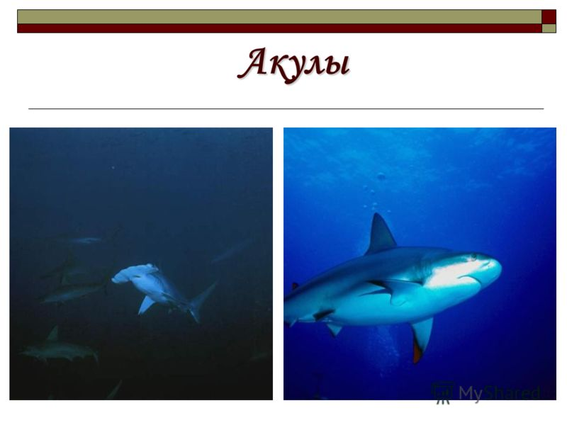 Акулы Акулы