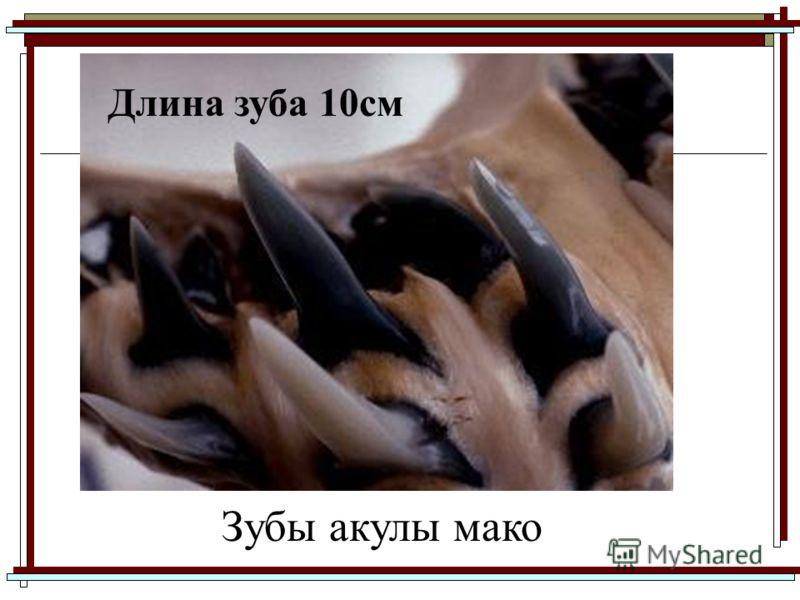 Длина зуба 10см Зубы акулы мако