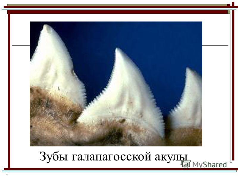 Зубы галапагосской акулы