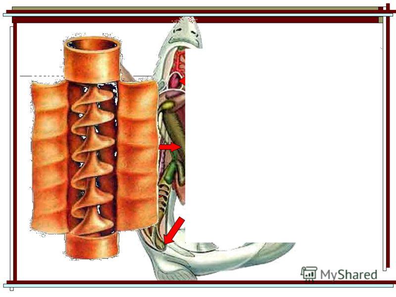 печень кишечник со спиральным клапаном желудок сердце клоака Кишечник – очень короткий Спиральный клапан значительно увеличивает площадь кишечника – испражнения акул спиральной формы