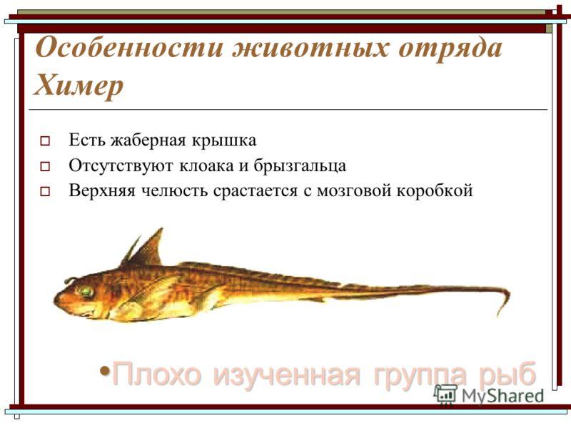 Особенности животных отряда Химер Есть жаберная крышка Отсутствуют клоака и брызгальца Верхняя челюсть срастается с мозговой коробкой Плохо изученная группа рыб Плохо изученная группа рыб