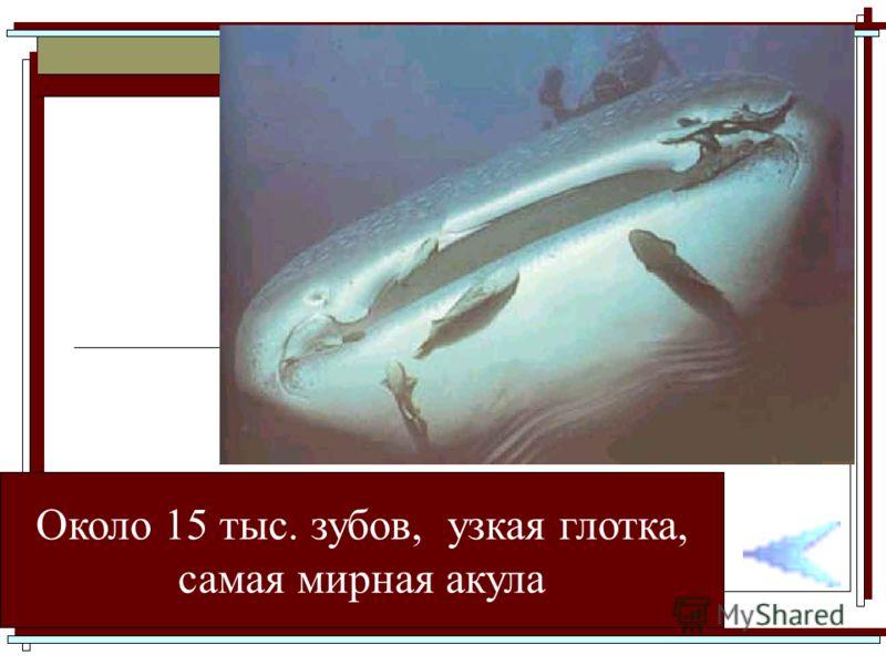 Около 15 тыс. зубов, узкая глотка, самая мирная акула