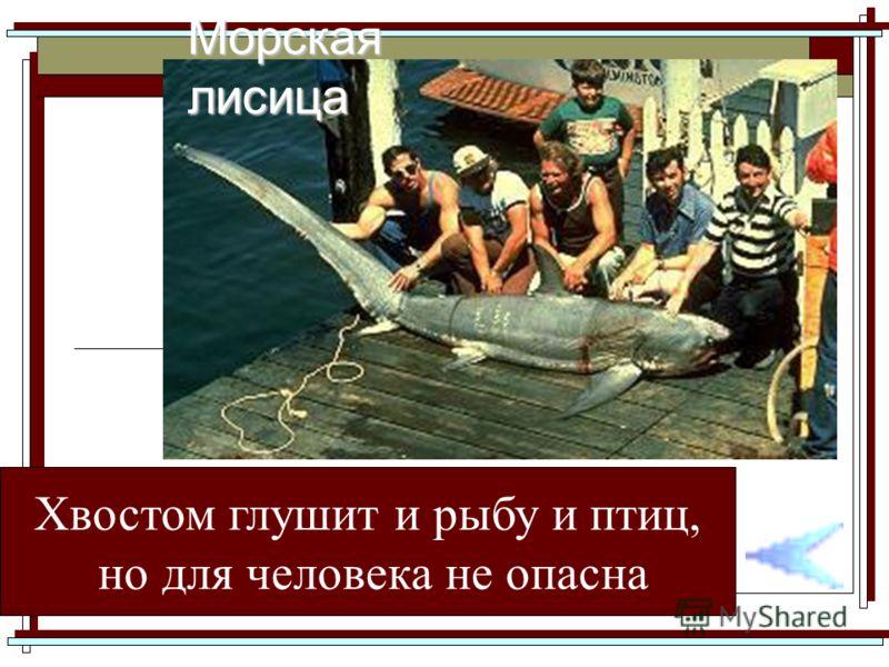 Хвостом глушит и рыбу и птиц, но для человека не опасна Морская лисица
