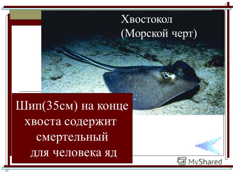 Хвостокол (Морской черт) Шип(35см) на конце хвоста содержит смертельный для человека яд