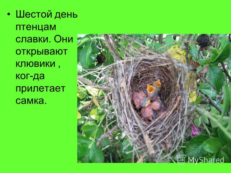 Шестой день птенцам славки. Они открывают клювики, ког-да прилетает самка.