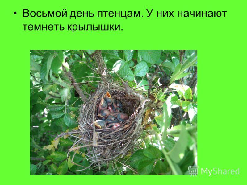 Восьмой день птенцам. У них начинают темнеть крылышки.