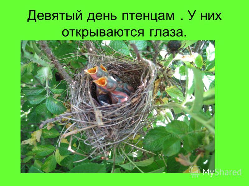 Девятый день птенцам. У них открываются глаза.