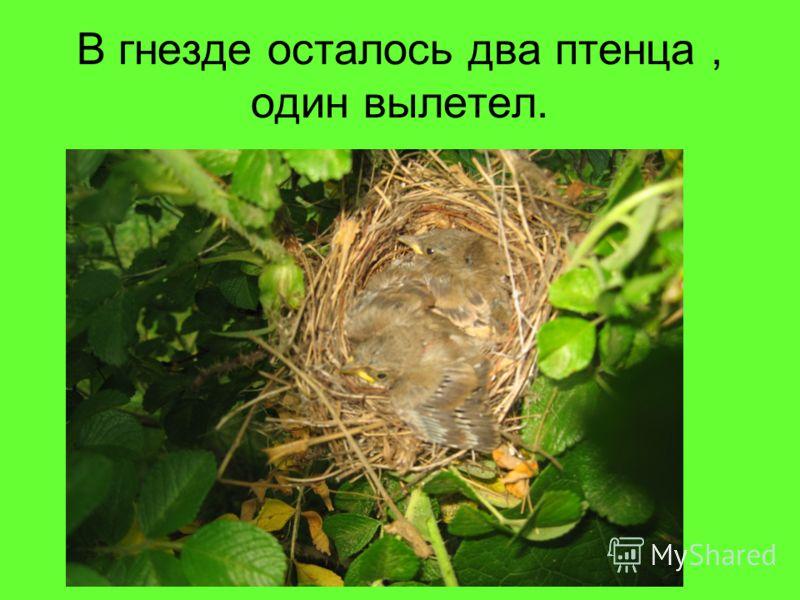 В гнезде осталось два птенца, один вылетел.