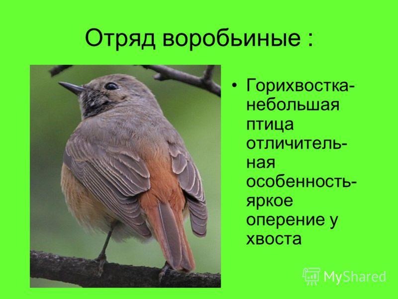 Отряд воробьиные : Горихвостка- небольшая птица отличитель- ная особенность- яркое оперение у хвоста