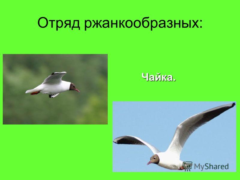 Отряд ржанкообразных: Чайка.